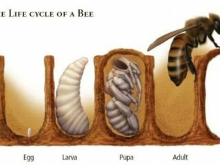 life cycle of a bee e