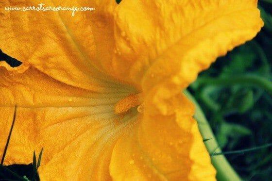 male_pumpkin_flower