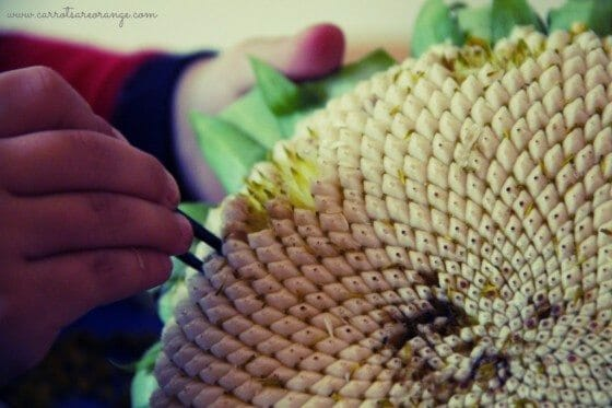 harvesting_sunflower_seeds