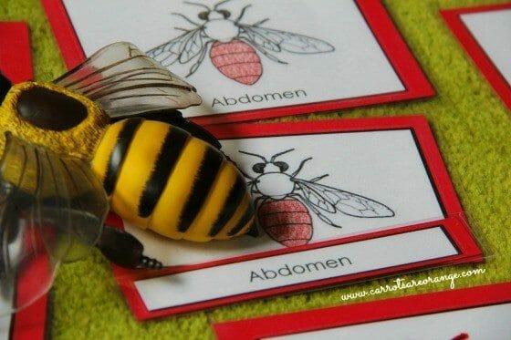 parts of the honeybee