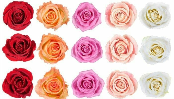collection of beautiful roses isolated on the white background