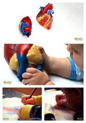 Life Science Activity for Kids Using a Heart Model and Tracing Card