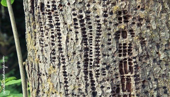 Woodpecker Patterns
